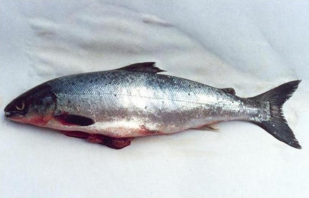 Atlantic salmon identification for Salmon fish pictures